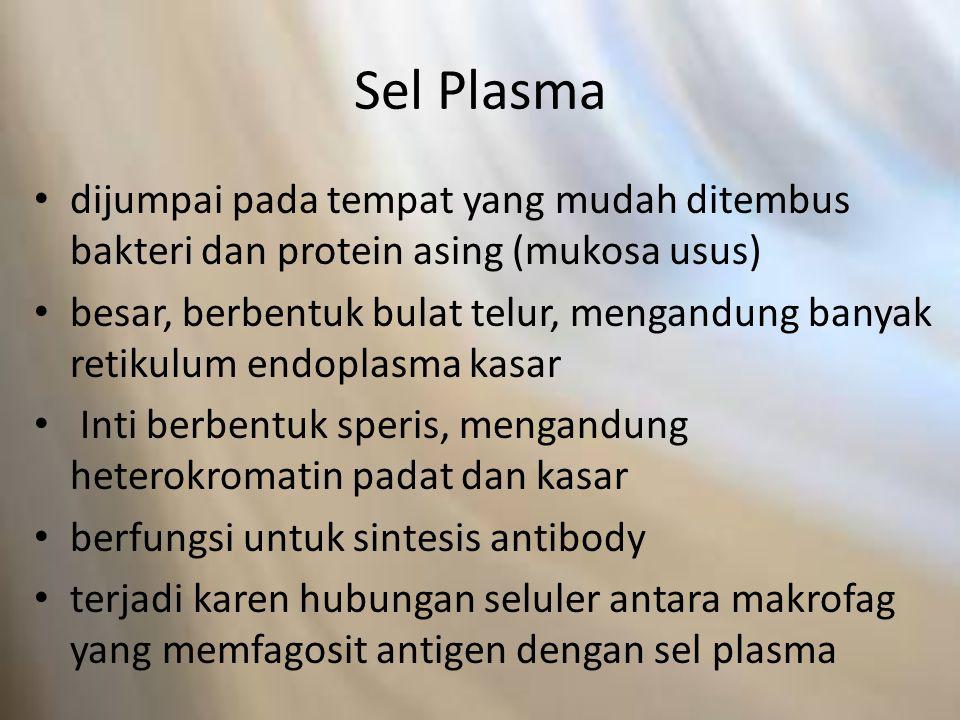 Sel Plasma dijumpai pada tempat yang mudah ditembus bakteri dan protein asing (mukosa usus)