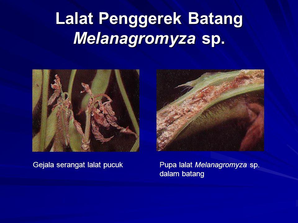 Lalat Penggerek Batang Melanagromyza sp.