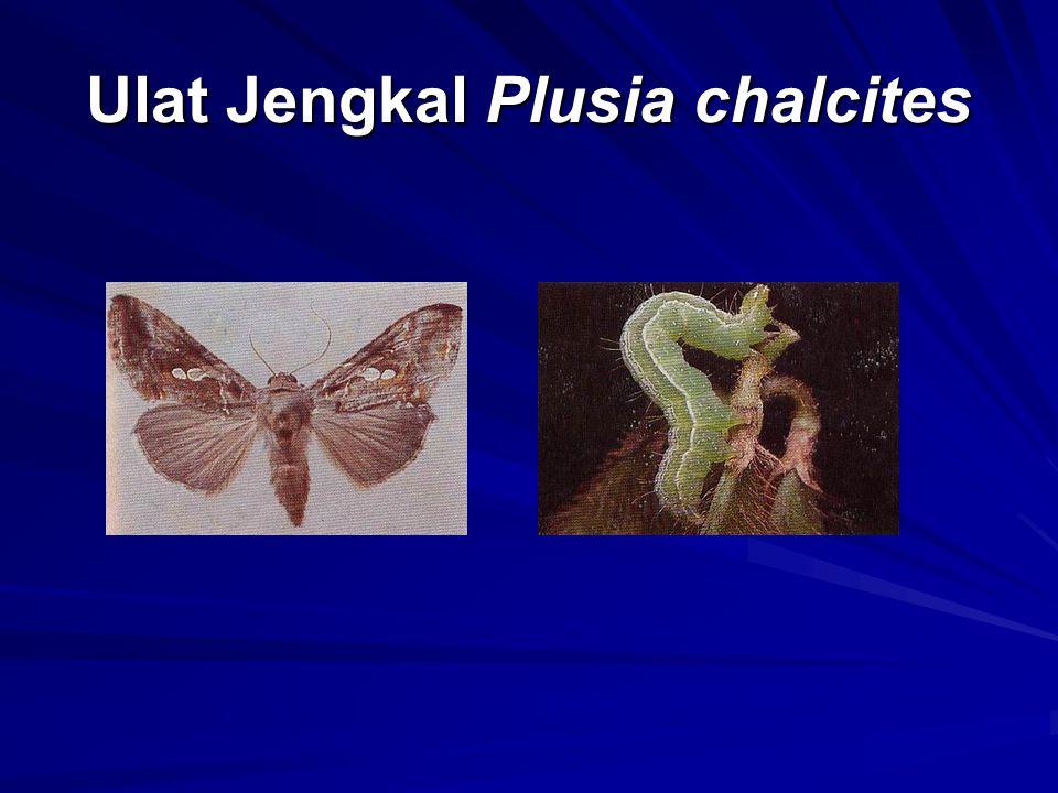 Ulat Jengkal Plusia chalcites
