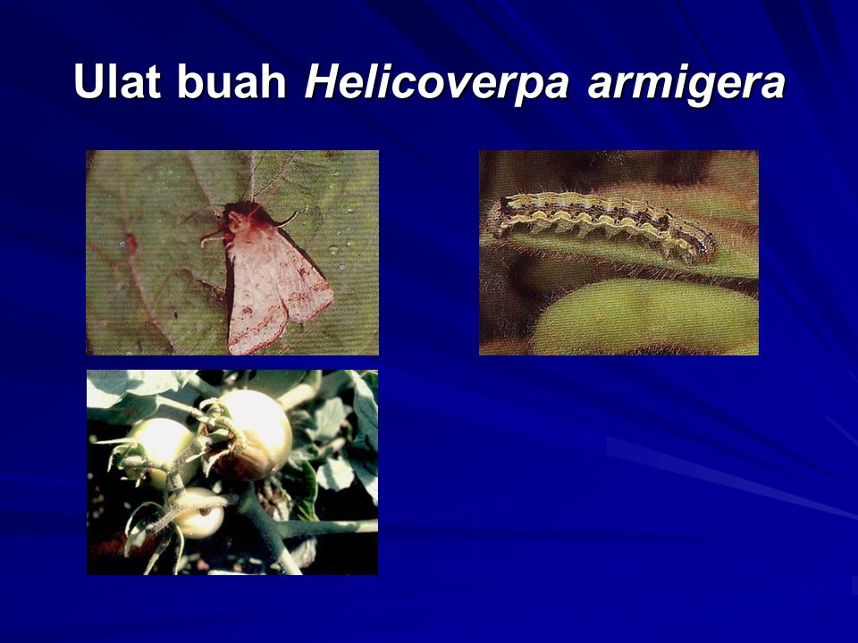 Ulat buah Helicoverpa armigera