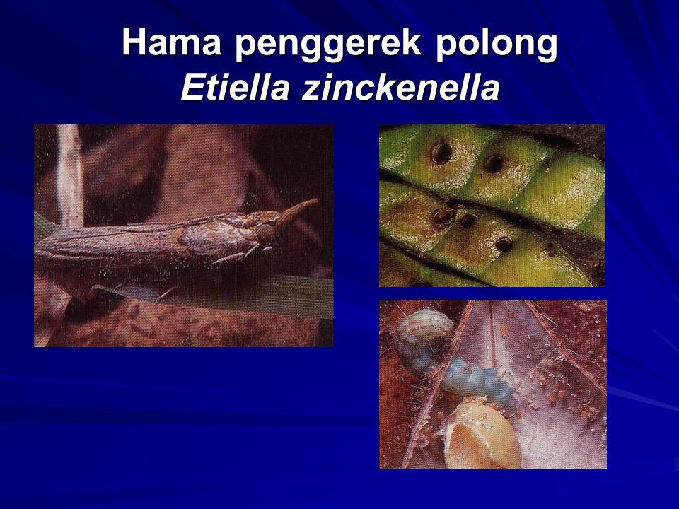 Hama penggerek polong Etiella zinckenella