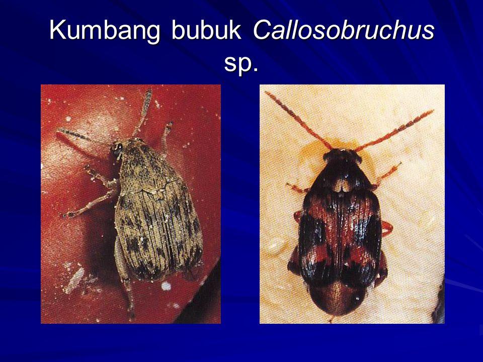 Kumbang bubuk Callosobruchus sp.