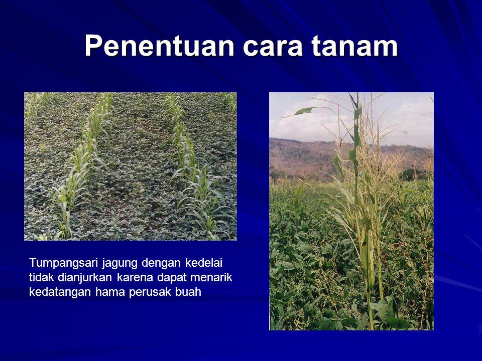 Penentuan cara tanam Tumpangsari jagung dengan kedelai tidak dianjurkan karena dapat menarik kedatangan hama perusak buah.