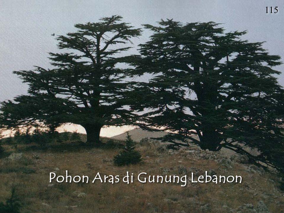Pohon Aras di Gunung Lebanon