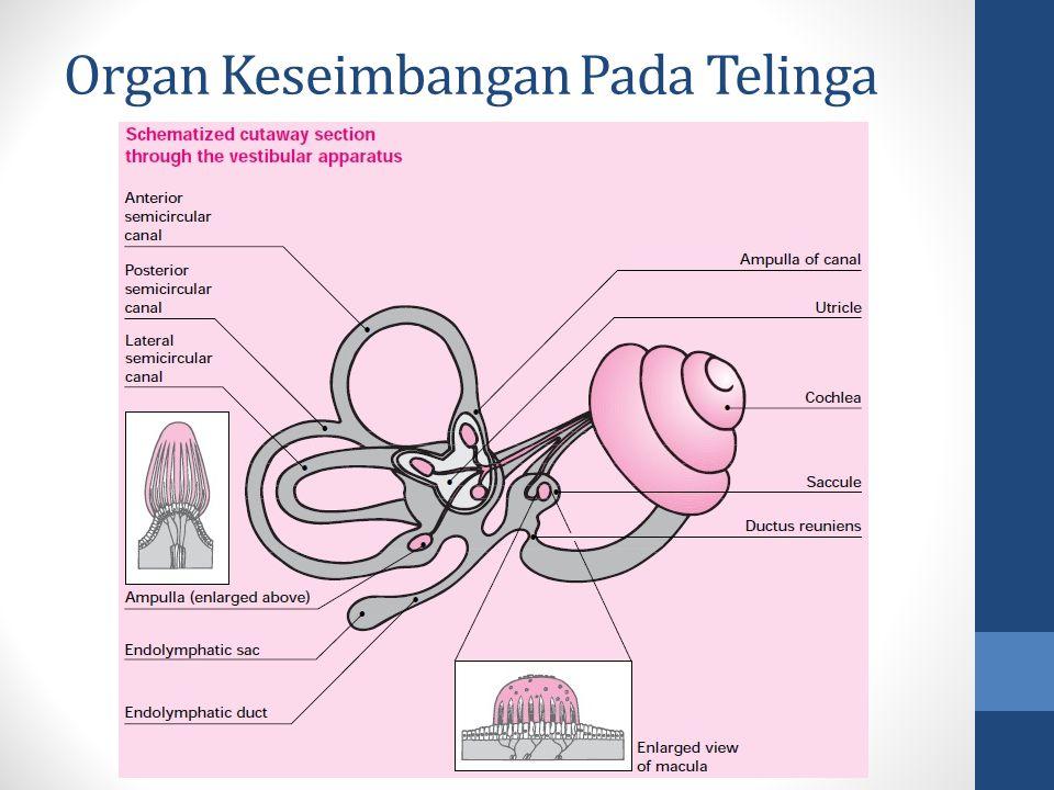Organ Keseimbangan Pada Telinga