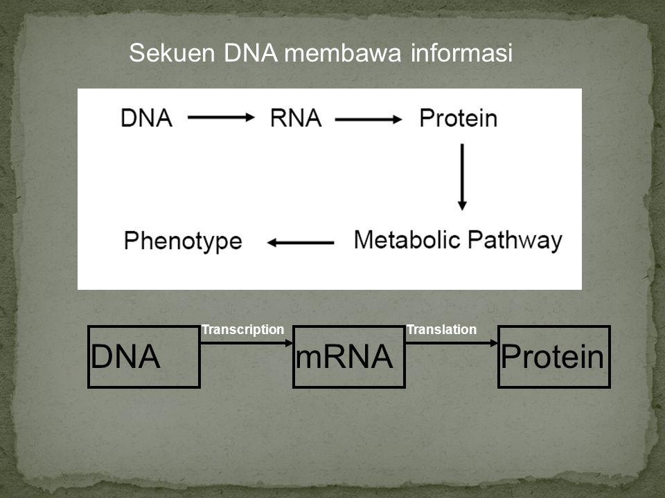 DNA mRNA Protein Sekuen DNA membawa informasi Transcription