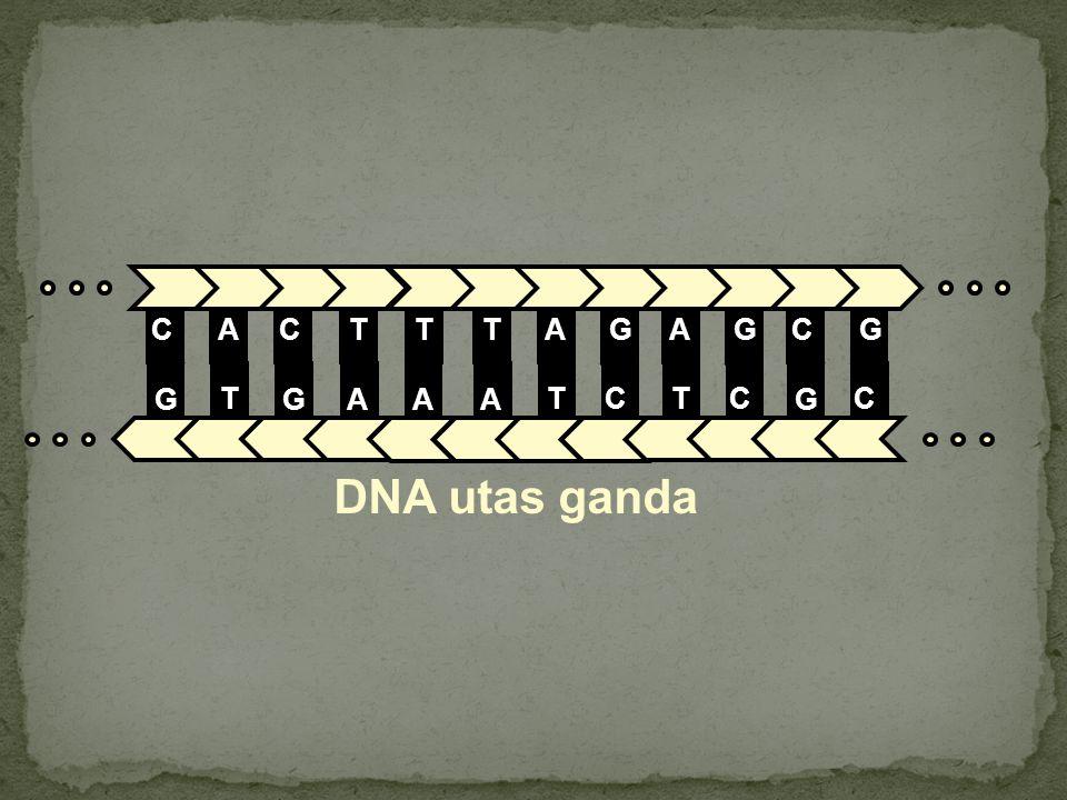 DNA utas ganda C G A T