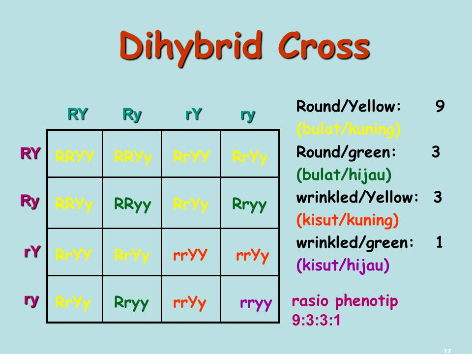Dihybrid Cross Round/Yellow: 9 (bulat/kuning) Round/green: 3