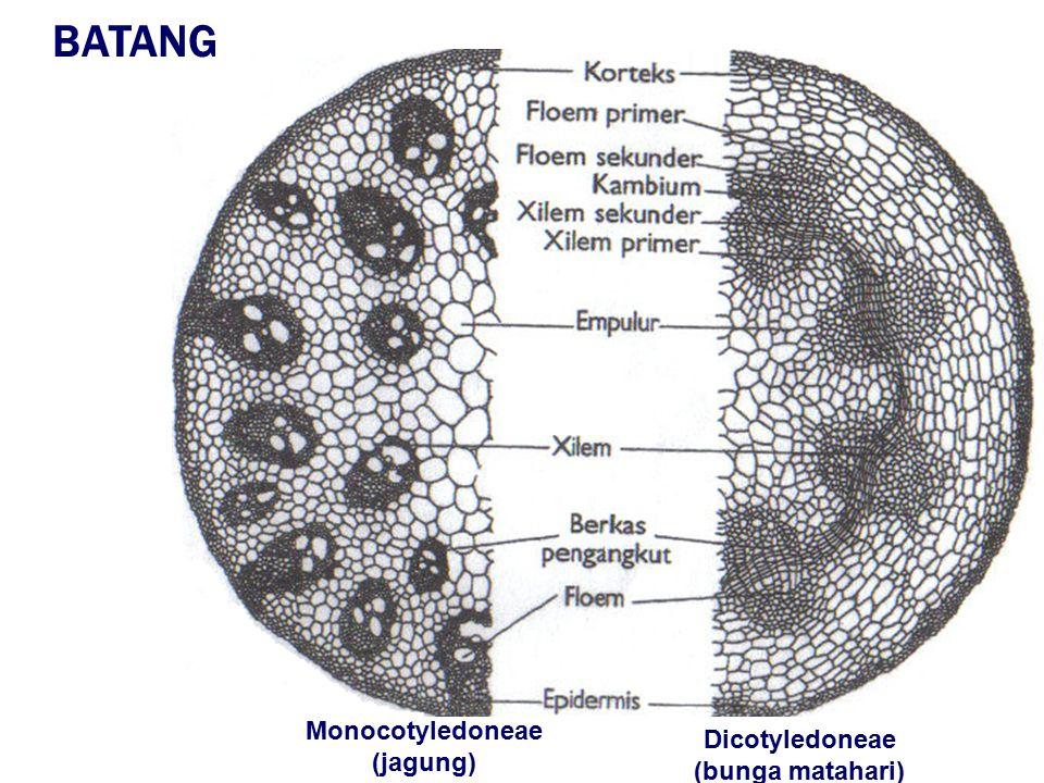 Monocotyledoneae (jagung) Dicotyledoneae (bunga matahari)