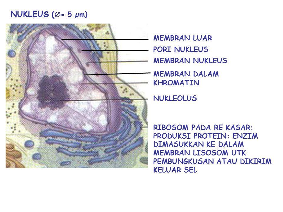 NUKLEUS (= 5 µm) MEMBRAN LUAR PORI NUKLEUS MEMBRAN NUKLEUS
