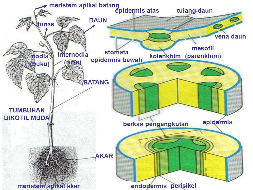 stomata epidermis bawah