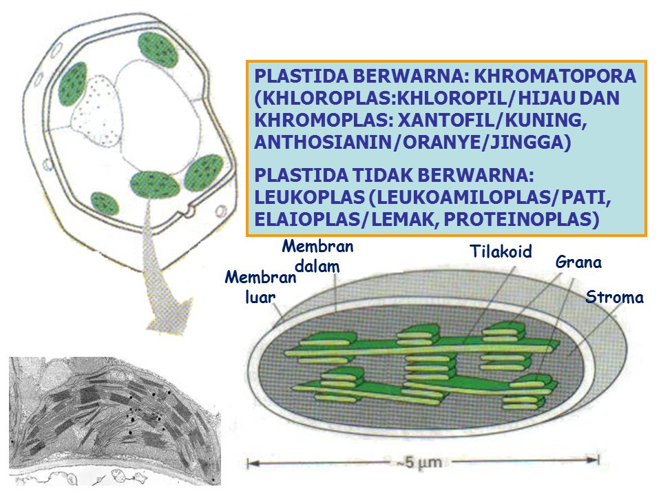 PLASTIDA BERWARNA: KHROMATOPORA (KHLOROPLAS:KHLOROPIL/HIJAU DAN KHROMOPLAS: XANTOFIL/KUNING, ANTHOSIANIN/ORANYE/JINGGA)