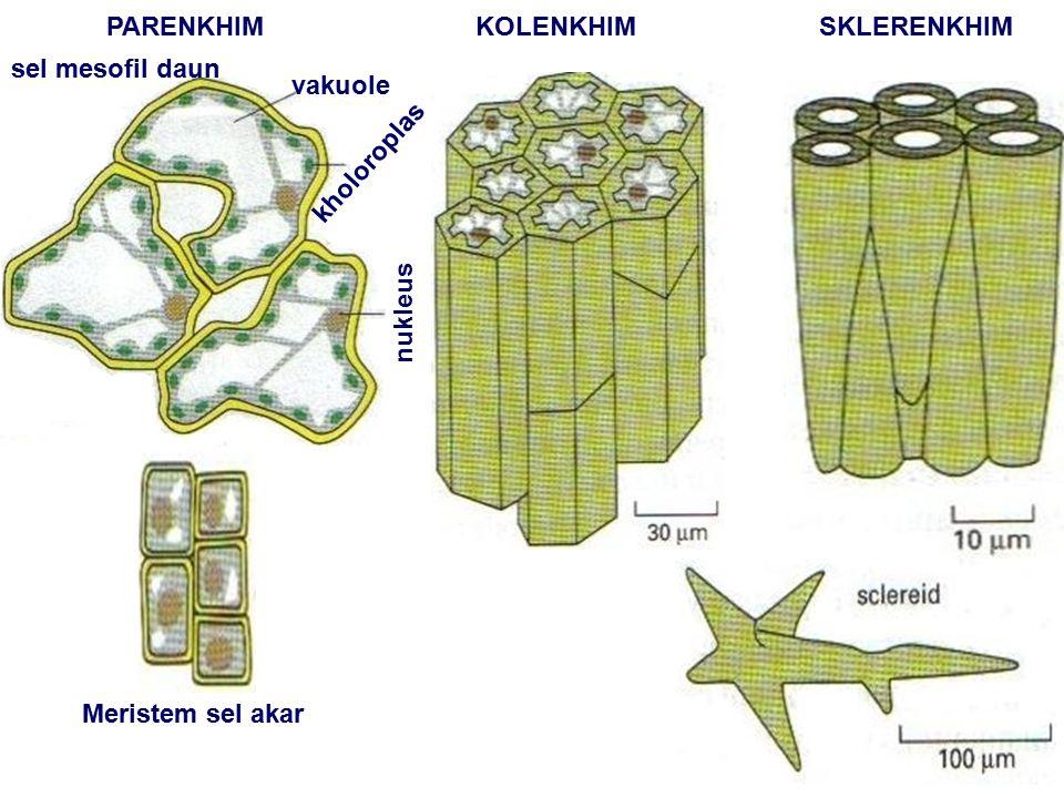 PARENKHIM KOLENKHIM SKLERENKHIM sel mesofil daun vakuole kholoroplas nukleus Meristem sel akar