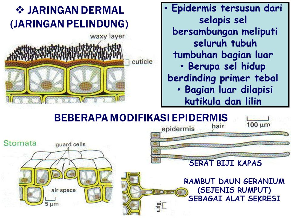 JARINGAN DERMAL (JARINGAN PELINDUNG) BEBERAPA MODIFIKASI EPIDERMIS