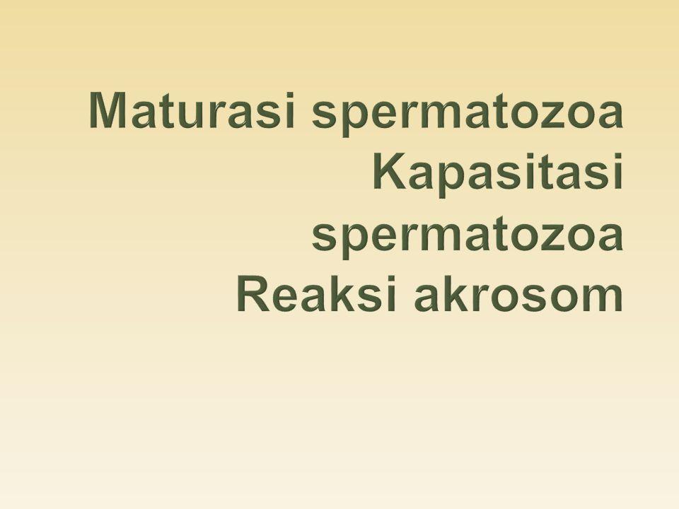 Maturasi spermatozoa Kapasitasi spermatozoa Reaksi akrosom