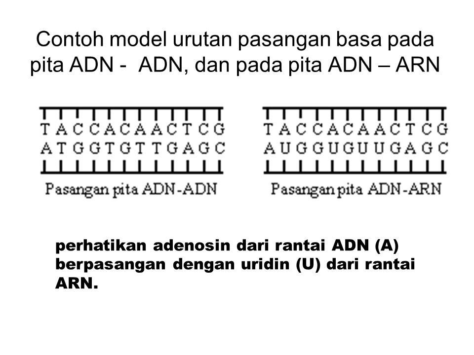 Contoh model urutan pasangan basa pada pita ADN - ADN, dan pada pita ADN – ARN