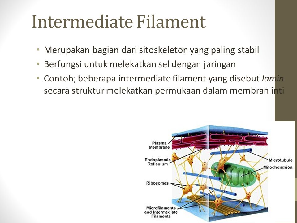 Intermediate Filament