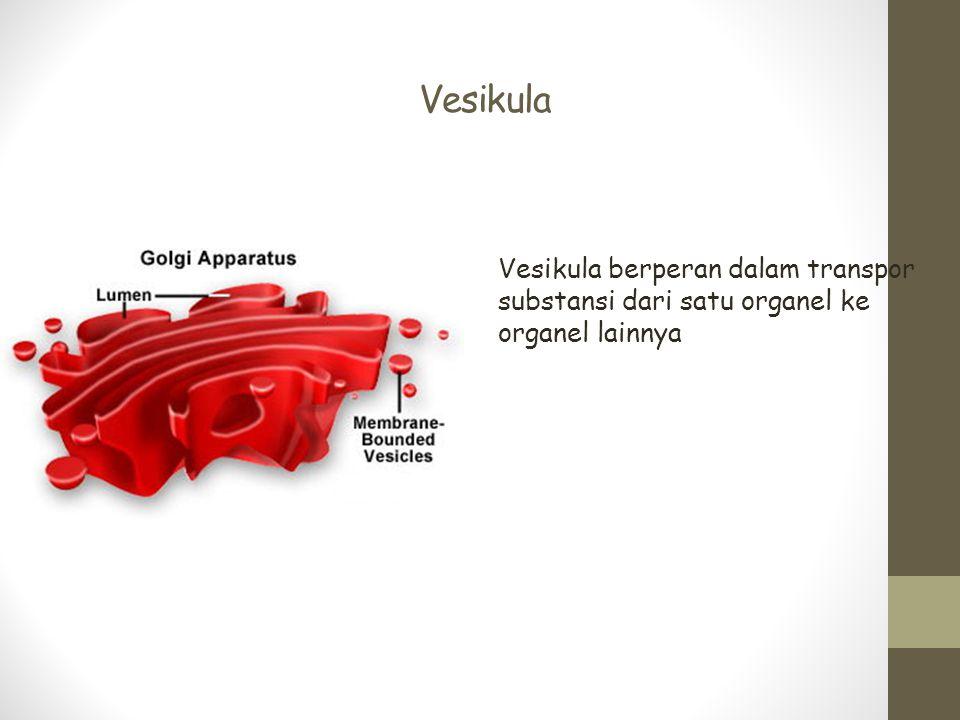 Vesikula Vesikula berperan dalam transpor substansi dari satu organel ke organel lainnya