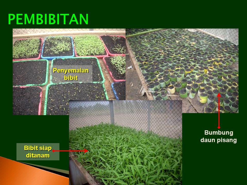 PEMBIBITAN Penyemaian bibit Bumbung daun pisang Bibit siap ditanam