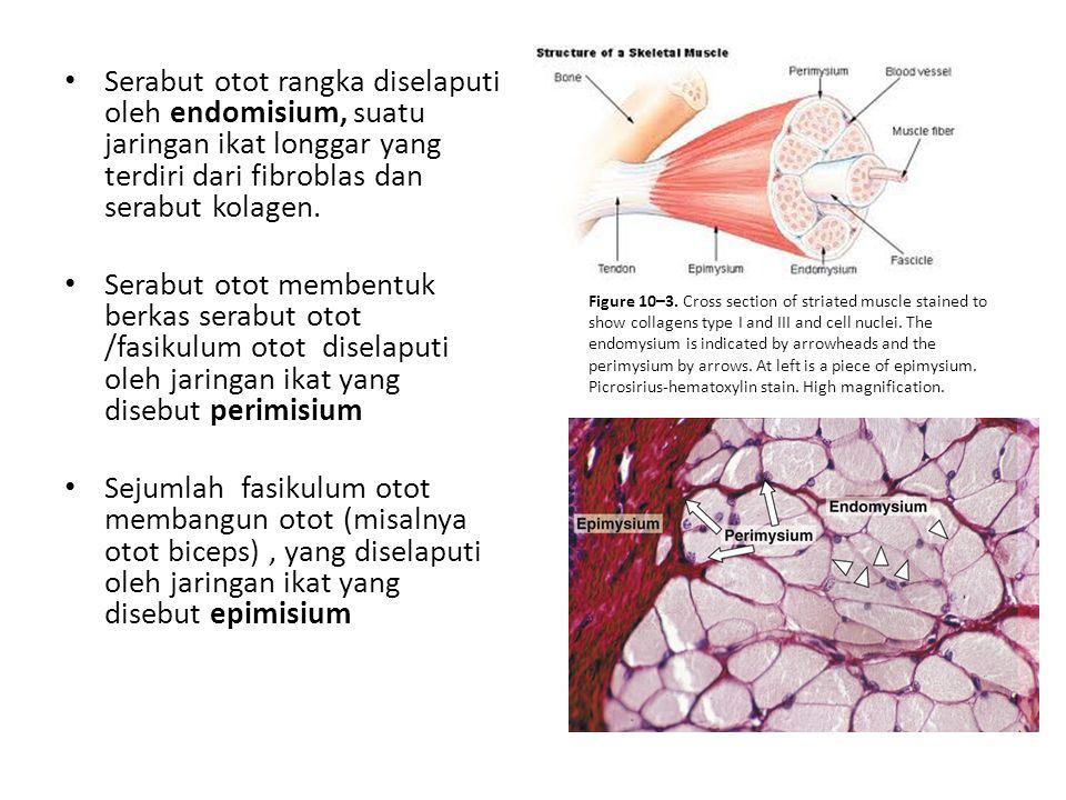 Serabut otot rangka diselaputi oleh endomisium, suatu jaringan ikat longgar yang terdiri dari fibroblas dan serabut kolagen.