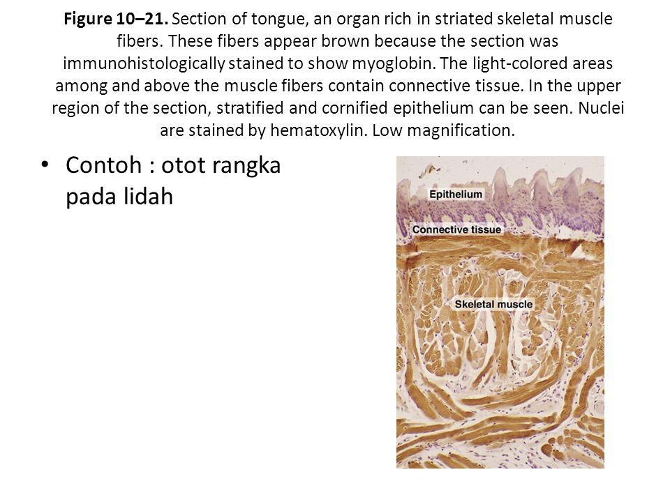 Contoh : otot rangka pada lidah