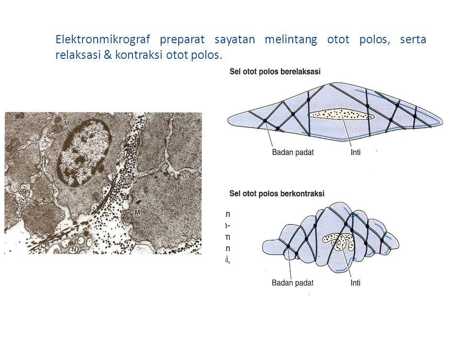 Elektronmikrograf preparat sayatan melintang otot polos, serta relaksasi & kontraksi otot polos.