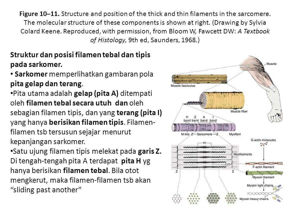 Struktur dan posisi filamen tebal dan tipis pada sarkomer.