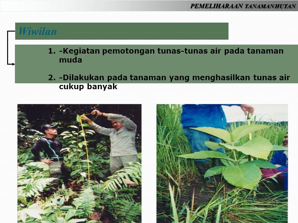 Wiwilan -Kegiatan pemotongan tunas-tunas air pada tanaman muda