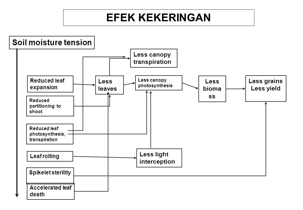 EFEK KEKERINGAN Soil moisture tension Less canopy transpiration