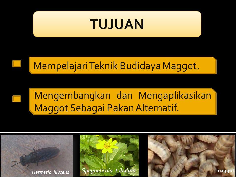 TUJUAN Mempelajari Teknik Budidaya Maggot.