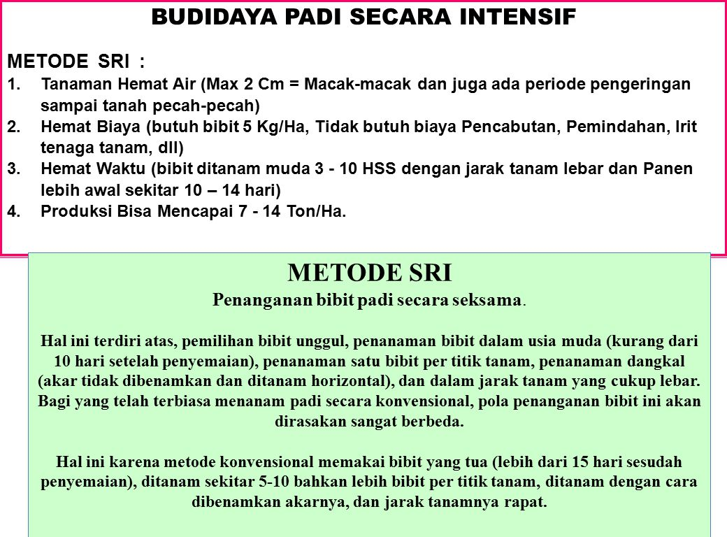 BUDIDAYA PADI SECARA INTENSIF
