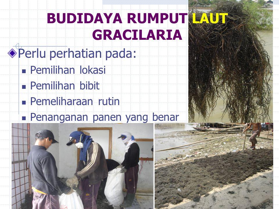 BUDIDAYA RUMPUT LAUT GRACILARIA