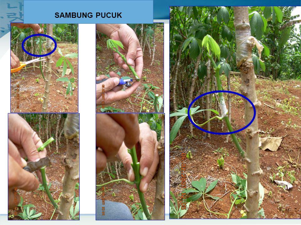 Top Grafting SAMBUNG PUCUK