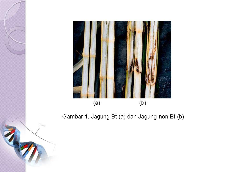 (a) (b) Gambar 1. Jagung Bt (a) dan Jagung non Bt (b)