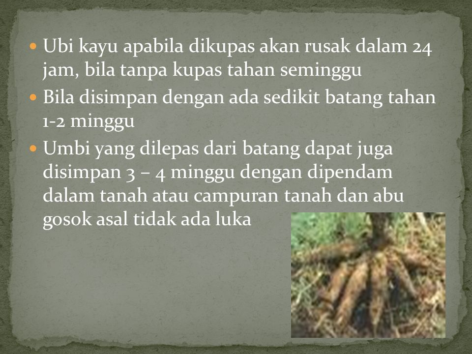 Ubi kayu apabila dikupas akan rusak dalam 24 jam, bila tanpa kupas tahan seminggu
