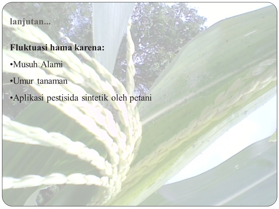 lanjutan... Fluktuasi hama karena: Musuh Alami Umur tanaman Aplikasi pestisida sintetik oleh petani