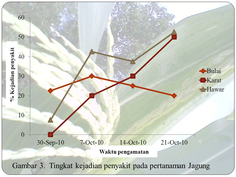 Gambar 3. Tingkat kejadian penyakit pada pertanaman Jagung