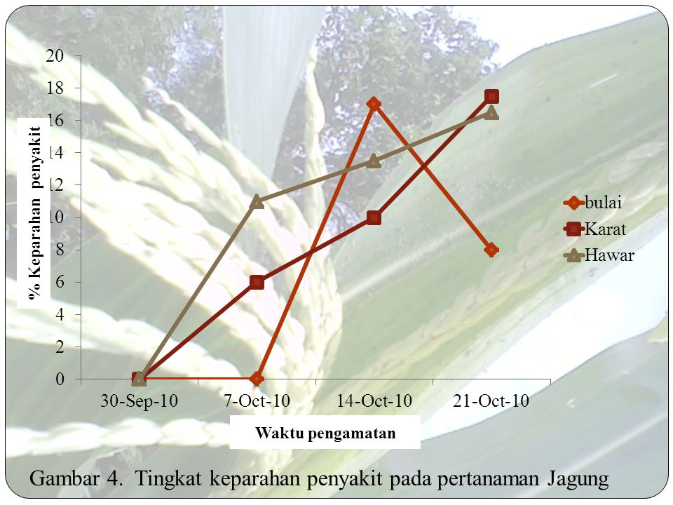 Gambar 4. Tingkat keparahan penyakit pada pertanaman Jagung