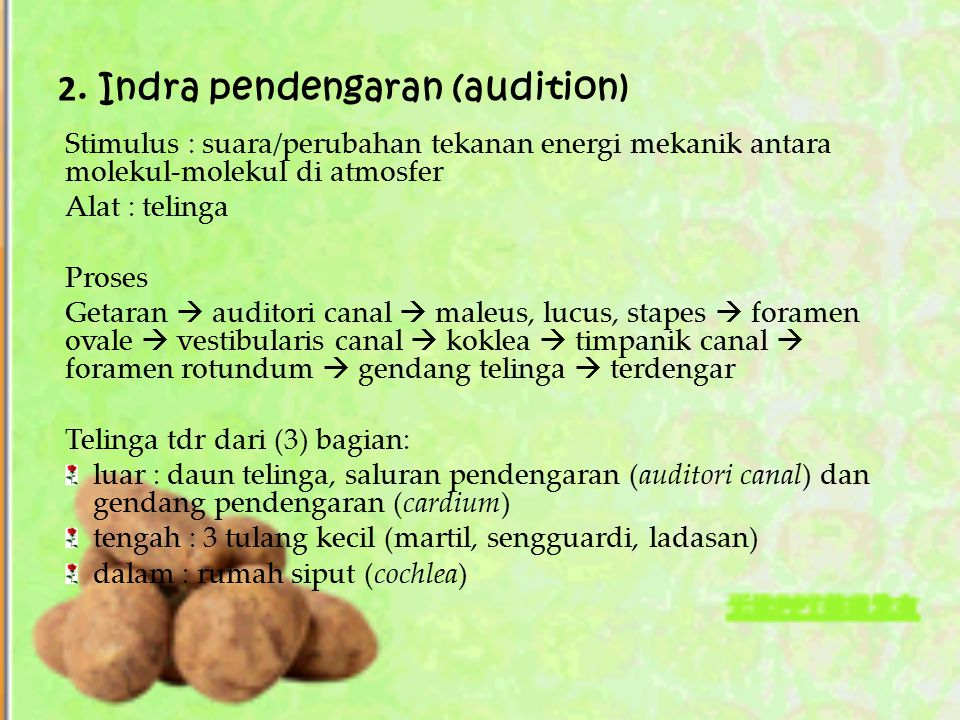 2. Indra pendengaran (audition)