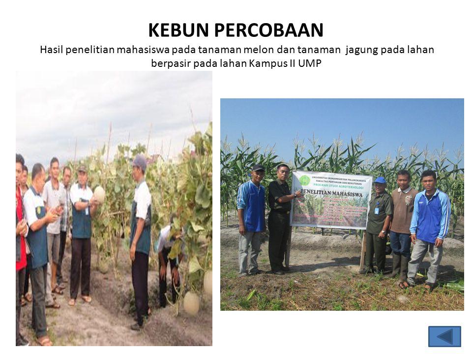 KEBUN PERCOBAAN Hasil penelitian mahasiswa pada tanaman melon dan tanaman jagung pada lahan berpasir pada lahan Kampus II UMP