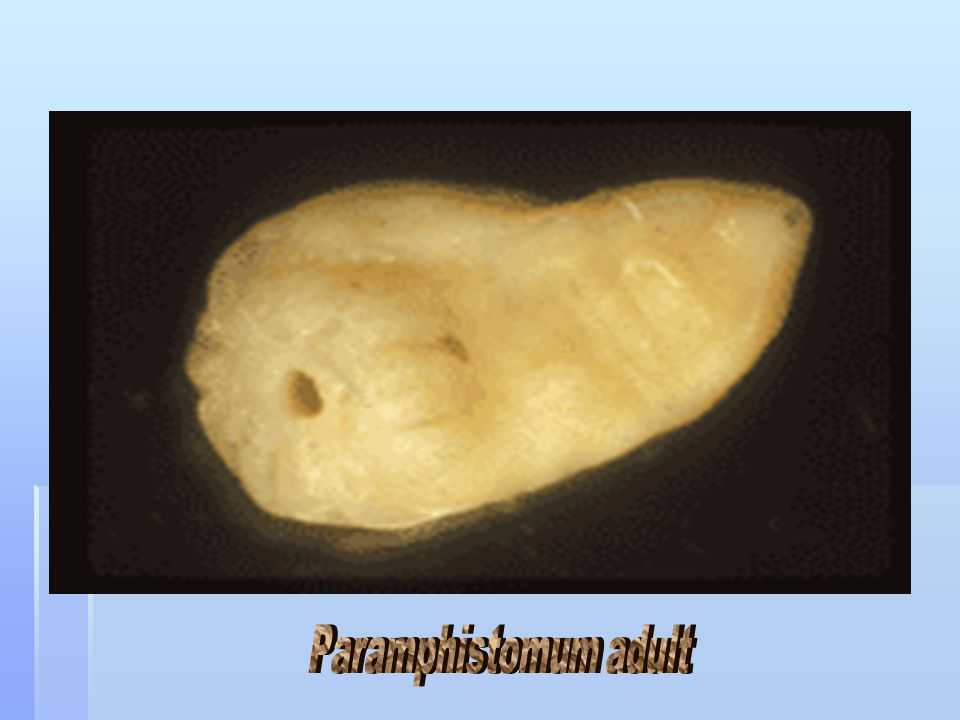 Paramphistomum adult