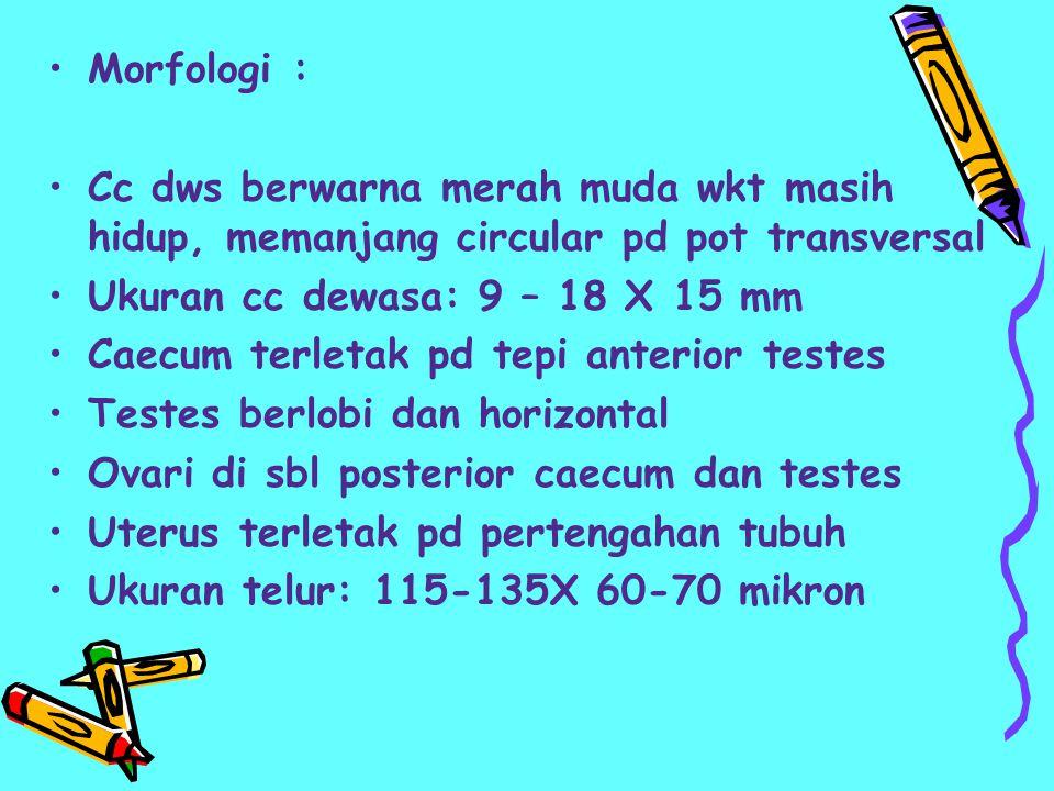 Morfologi : Cc dws berwarna merah muda wkt masih hidup, memanjang circular pd pot transversal. Ukuran cc dewasa: 9 – 18 X 15 mm.