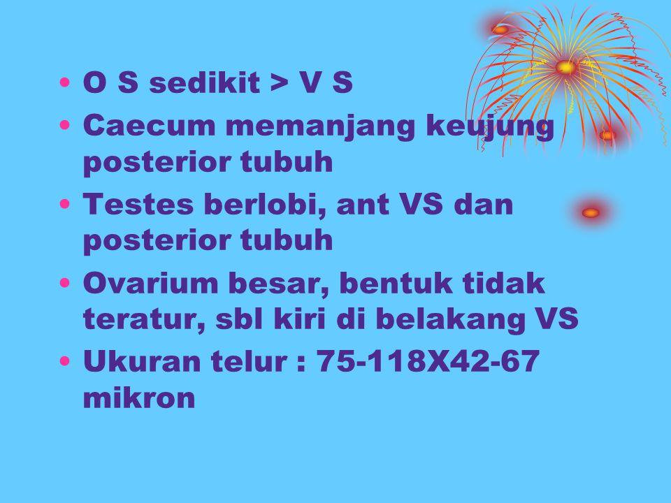 O S sedikit > V S Caecum memanjang keujung posterior tubuh. Testes berlobi, ant VS dan posterior tubuh.