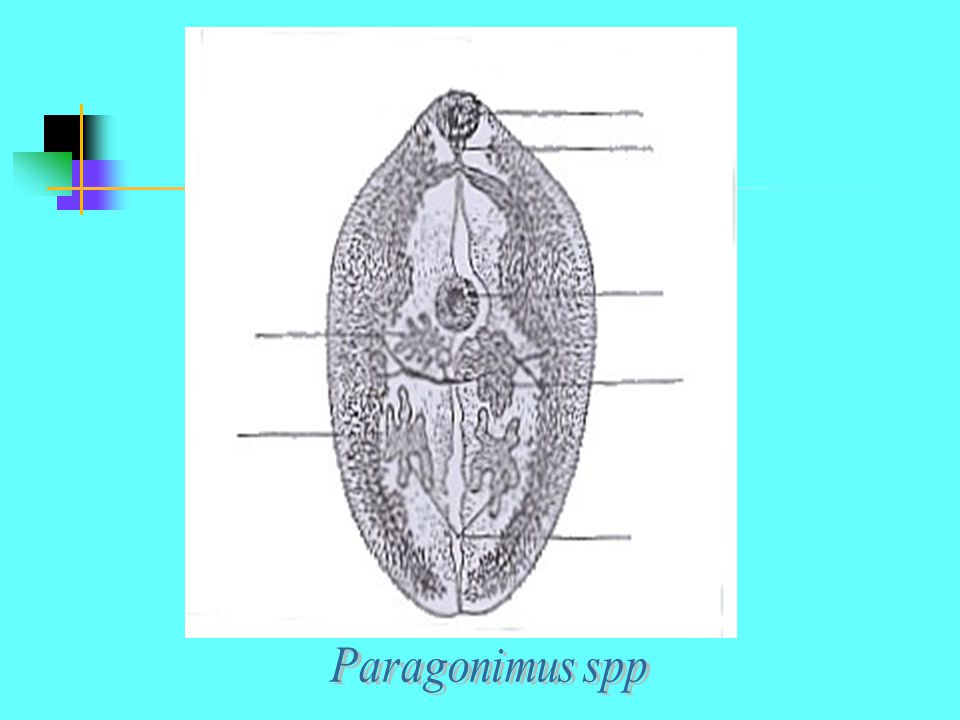 Paragonimus spp