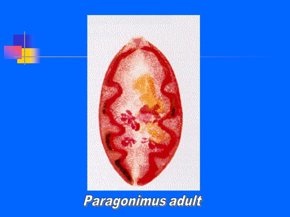 Paragonimus adult