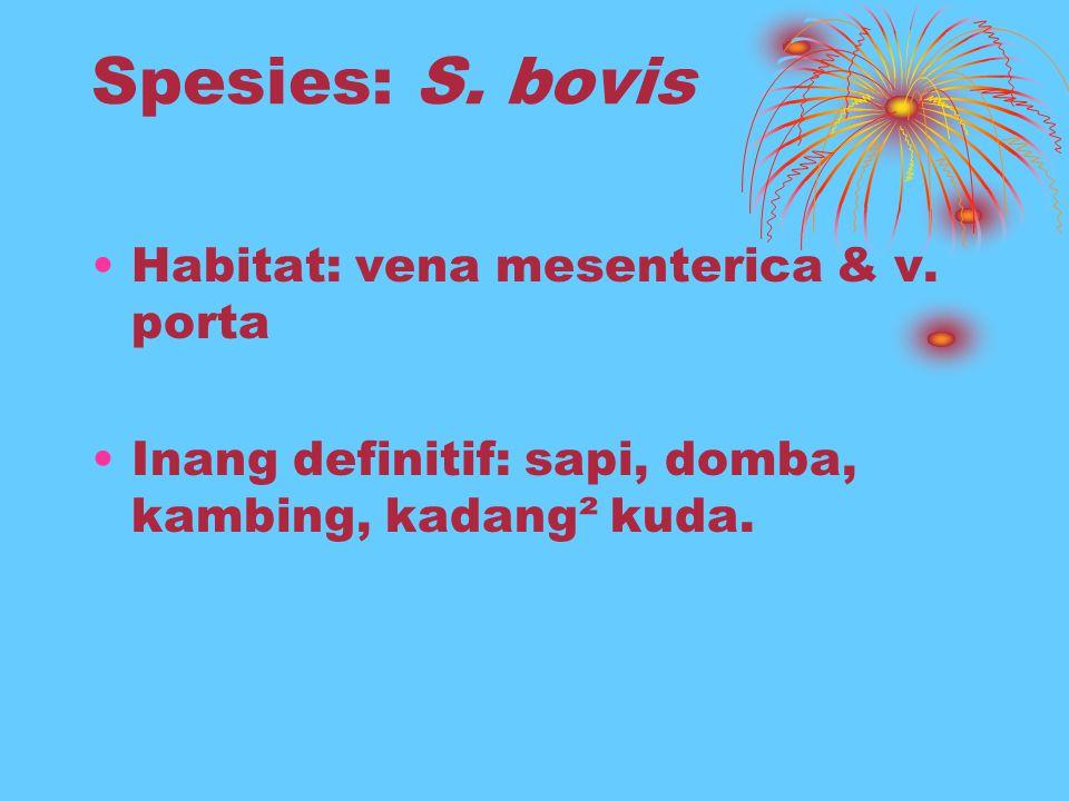 Spesies: S. bovis Habitat: vena mesenterica & v. porta