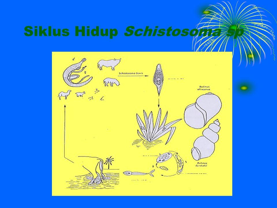 Siklus Hidup Schistosoma sp