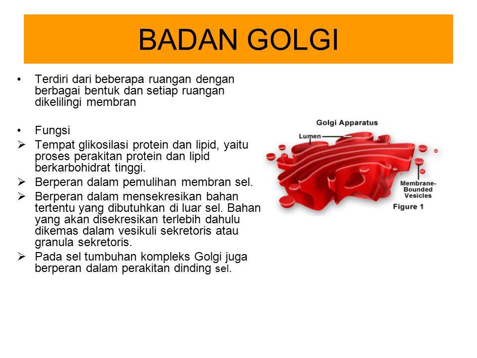BADAN GOLGI Terdiri dari beberapa ruangan dengan berbagai bentuk dan setiap ruangan dikelilingi membran.