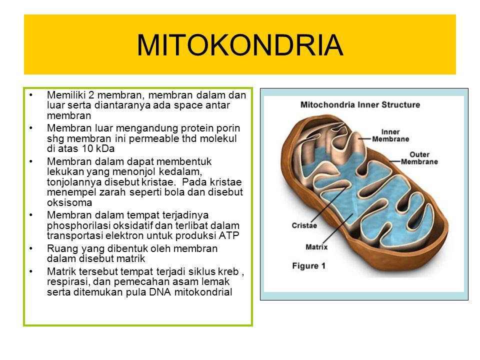 MITOKONDRIA Memiliki 2 membran, membran dalam dan luar serta diantaranya ada space antar membran.