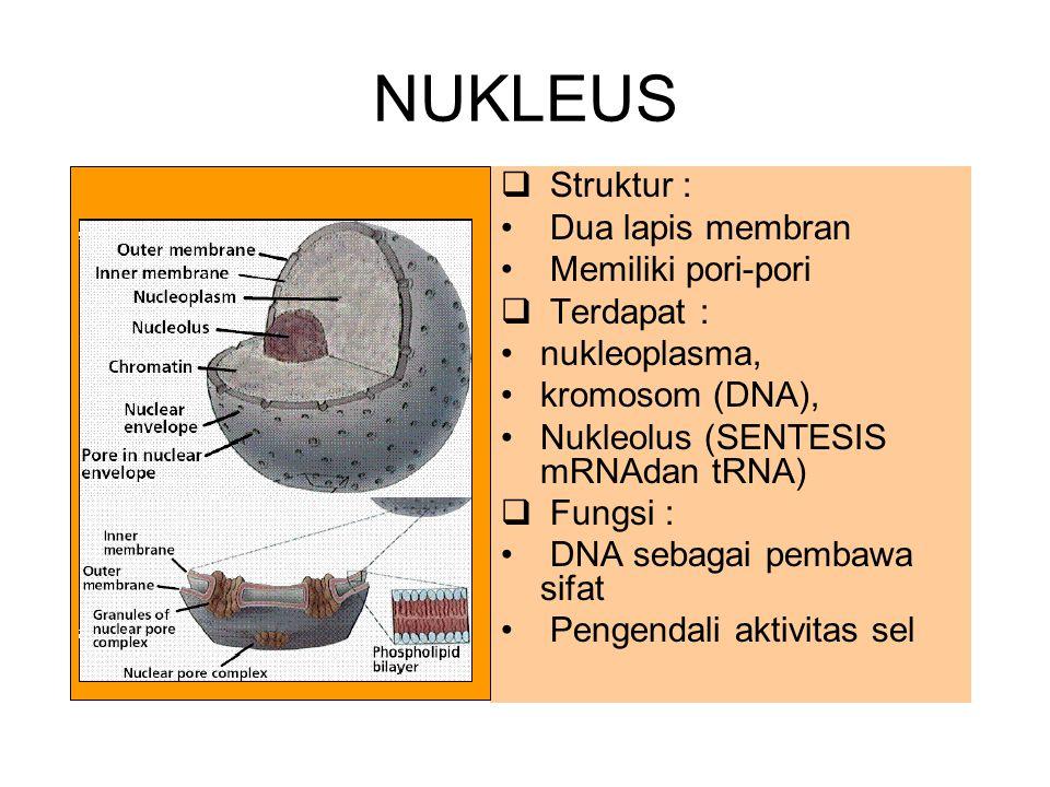 NUKLEUS Struktur : Dua lapis membran Memiliki pori-pori Terdapat :